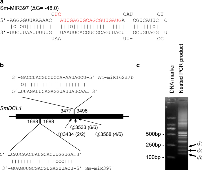 The Sm-MIR397 precursor and complementarities between miRNAs and SmDCL1. ( a ) Predicted hairpin structures of Sm-MIR397 . Mature miRNA sequences are indicated in red. Vertical lines indicate G:C and A:U pairings. Circles indicate G:U pairings. ( b ) Complementarities between Sm-miR397, At-miR162a/b and SmDCL1. The heavy black line represents ORF. The lines flanking ORF represent nontranslated regions. MiRNA complementary sites with the nucleotide positions of SmDCL1 cDNA are indicated. The RNA sequence of each complementary site from 5′ to 3′ and the predicted miRNA sequence from 3′ to 5′ are shown in the expanded regions. Arrows indicate the 5′ termini of three cDNA fragments ( c ) with the frequency of clones (in parentheses) and the nucleotide positions of SmDCL1 cDNA shown. ( c ) Determination of the 5′ termini of truncated SmDCL1 cDNA fragments using the 5′-RACE method. Nested PCR products were separated in a 2% agarose gel.