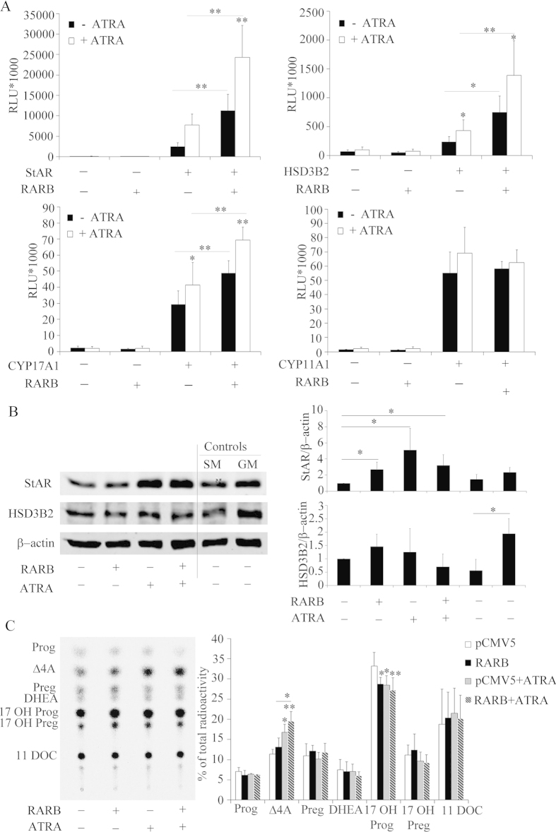 Role of the nuclear transcription factor RARB in altering the expression of genes involved in steroidogenesis. ( A ) H295R cells were transfected with the human −1.05 kb HSD3B2, −1.3 kb StAR and −3.7 kb CYP17A1, -2327 bp CYP11A1 promoter constructs along with an expression vector for the RARB transcription factor. Transfection medium was changed after 6 h and cells were cultivated in serum free medium for 24 h. Thereafter, cells were grown in the presence or absence of ATRA in serum-free medium for another 24 h. Promoter activation was assessed by the dual luciferase assay (Promega) using pRL-TK as internal control. Data are expressed in Relative Light Units (RLU). Error bars show the mean ± SD of three independent experiments. * p