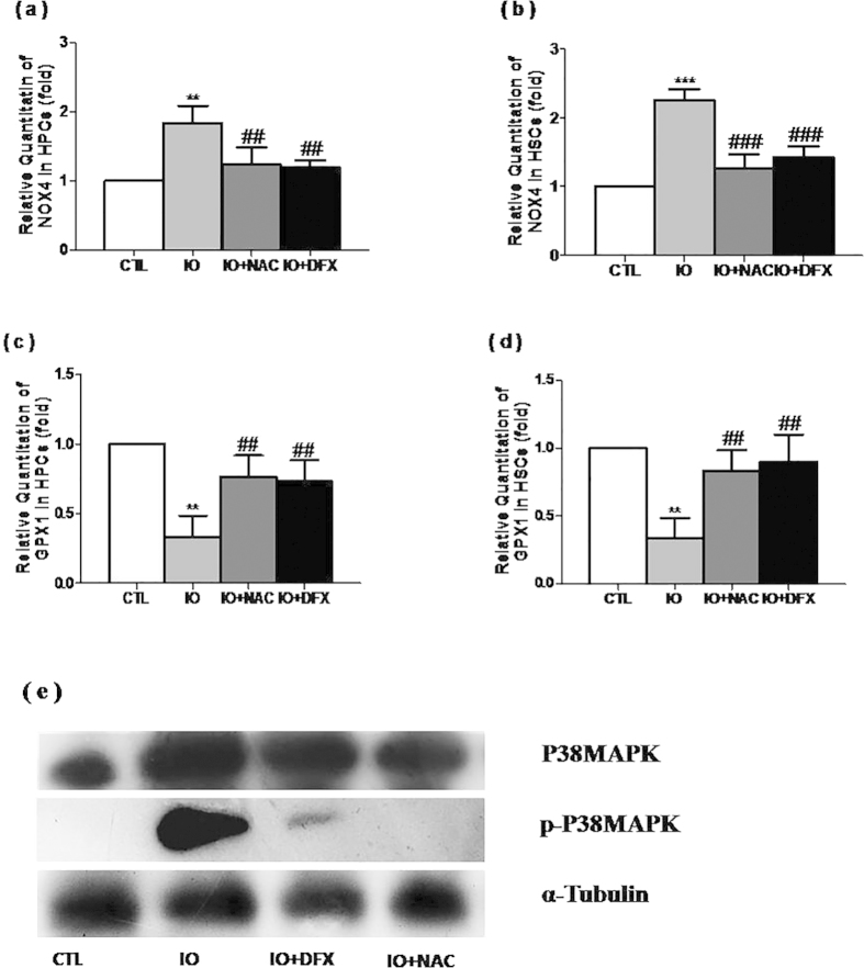 Iron overload activated the NOX4/ROS/P38MAPK signaling pathways.(a–d) The levels of NOX4 and GPX1 mRNA expression are expressed as the means ± SE of fold changes compared with their respective controls. N = 3, ** P