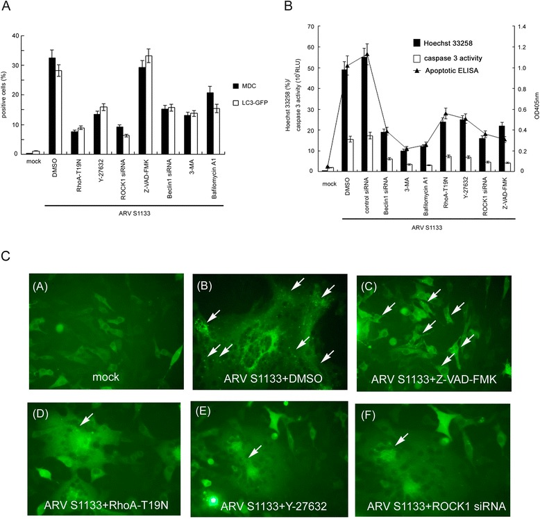 RhoA and ROCK1 are essential for ARV S1133-induced autophagy, apoptosis, and the conversion of autophagy to apoptosis. (A) Vero cells transfected with RhoA-T19N and incubated for 24 hr, before being transfected with siRNA for 72 hr, pre-treated with 5 μM Y-27632, 10 μM Z-VAD-FMK, 50 μM 3-MA and 0.1 μM <t>Bafilomycin</t> A1 at non-toxic concentrations for 4 hr, and then infected with ARV S1133 at an MOI of 5 for an additional 18-hr incubation. Autophagic vacuoles were stained with MDC, and the percentage of positive cells was calculated in 20 independent fields at a magnification of 200× (black bar). Vero cells transfected with LC3-GFP, together with RhoA-T19N, and incubated for 24 hr, or transfected with siRNA for 48 hr then transfected with LC3-GFP, or pretreated with inhibitor for 4 hr then transfected with LC3-GFP. 24 hr after LC3-GFP transfection, ARV S1133 was added for an additional 18-hr incubation period. GFP-positive cells containing more than 3 dots were counted as positive LC3-GFP cells. The percentage of positive cells was calculated in 20 independent fields at a magnification of 200× (white bar). (B) ARV S1133 infected cells at an MOI of 5 with an incubation period of 36 hr with identical treatment timings to those described in (A) . Three apoptosis assays were performed. The left y-axis represents the percentage of Hoechst 33258 positive cells and the caspase-3 activity in relative light units (RLUs). The right y-axis represents the OD 405 nm values from an apoptotic ELISA assay. All experiments were performed three times, each in duplicate. The data are presented as the mean ± SD. (C) Punctate dots of GFP indicating autophagosomes are shown by the white arrows (400x magnification).