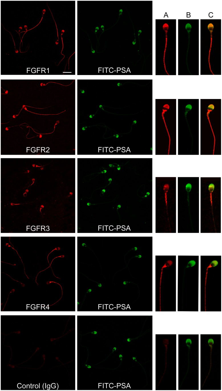 Localization of FGFRs in human sperm. Sperm cells were stained with anti FGFR1, FGFR2, FGFR3 and FGFR4 or rabbit <t>IgG</t> and a secondary antibody labeled with <t>Cy3.</t> The corresponding fields stained with FITC-PSA to assess acrosomal status are shown. Bar: 10 μm. On the right, a representative image of individual sperm is depicted; ( A ) sperm stained with anti FGFR antibody and Cy3-conjugated secondary antibody, ( B ) FITC-PSA, ( C ) merge.