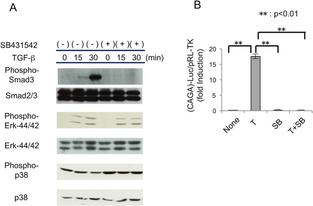 Effects of SB431542 on the TGF-β/Smad transcriptional responses in MPDL22 cells. (A) Activation of Smad3, Erk, and p38 induced by TGF-β (4 ng/mL) with or without pretreatment with SB431542 (10 μM). Phosphorylation levels and protein levels were determined by western blotting. (B) Promoter activity of TGF-β responsive gene PAI-1 . MPDL22 cells were transfected with ( CAGA ) 12 -Luc reporter plasmid as indicated. Twenty-four hours after transfection, cells were treated with TGF-β (4 ng/mL), SB431542 (10 μM) or both overnight. (-): control; B: BMP-2; T: TGF-β; SB: SB431542. **: p