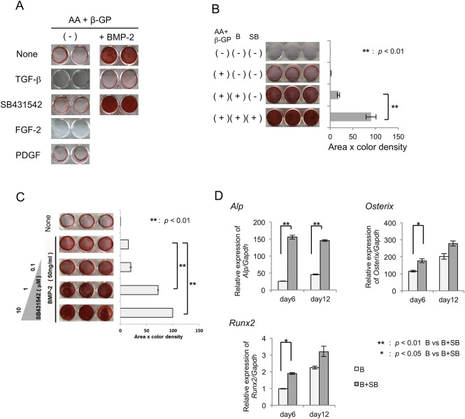Effects of SB431542 on mineralized nodule formation by MPDL22 cells. (A) Osteogenic differentiation of MPDL22 cells was induced by culture in mineralization inducing medium with or without BMP-2 (50 ng/mL), FGF-2 (50 ng/mL) and PDGF-BB (20 ng/mL) in the presence or absence of TGF-β (4 ng/mL) and SB431542 (10 μM). Calcified nodule formation was determined at day 12 by Alizarin red staining. (B) Quantification of calcified nodule formation by MPDL22 cells induced by BMP-2 in the presence or absence of AA (50 mg/mL) plus β-GP (50 mM), BMP-2 (50 ng/mL) and SB431542 (10 μM). Densitometric analysis was applied to the scanned culture plate images at day 12. Positive scores were calculated by multiplying the stained area by its Alizarin red staining color density. B: BMP-2; SB: SB431542. **: p