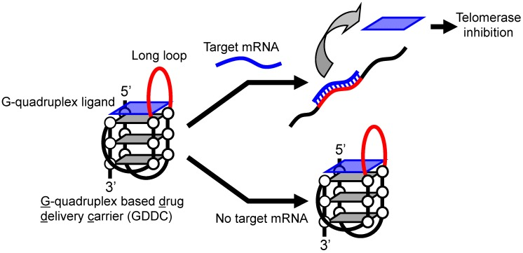 Principle behind DDS using a GDDC for cancer therapy. In the absence of a target mRNA in normal cells, the GDDC retains its G-quadruplex structure and thus a G-quadruplex ligand (a <t>telomerase</t> inhibitor) remains bound. In the presence of the target mRNA in cancer cells, the G-quadruplex structure of the GDDC unfolds, releasing the G-quadruplex ligand and inhibiting telomerase activity.