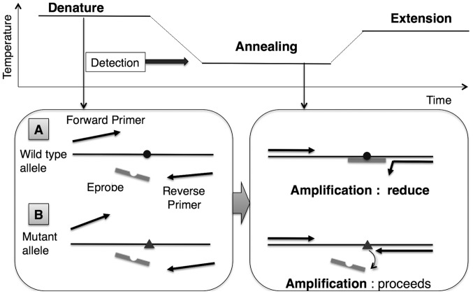 Mutant allele enrichment by Eprobe-PCR using primer competition. (A) Reduction of amplification of the wild-type (WT) template. The Eprobe is designed to match the WT allele sequence (WT Eprobe). WT Eprobe has greater stability to WT template than the reverse primer and reduces its amplification by competing with the reverse primer, resulting in limited amplification of the WT gene. (B) WT Eprobe has less stability to mutant type (MT) template and does not reduce its amplification. (A and B) These combinations enrich the reaction in MT amplicons.
