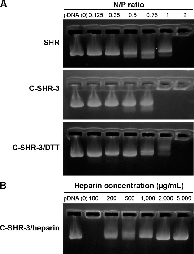 Agarose gel electrophoresis assay. Notes: ( A ) Agarose gel electrophoresis of pGL3 binding affinity for SHR and C-SHR-3 at various N/P ratios. ( B ) Heparin were used to evaluate the release of pGL3 from C-SHR-3/pGL3 complexes at an N/P ratio of 5. Abbreviations: C-SHR, disulfide cross-linked stearylated polyarginine peptide modified with histidine; SHR, non-cross-linked stearylated polyarginine peptide; DTT, dithiothreitol; pDNA, plasmid DNA.