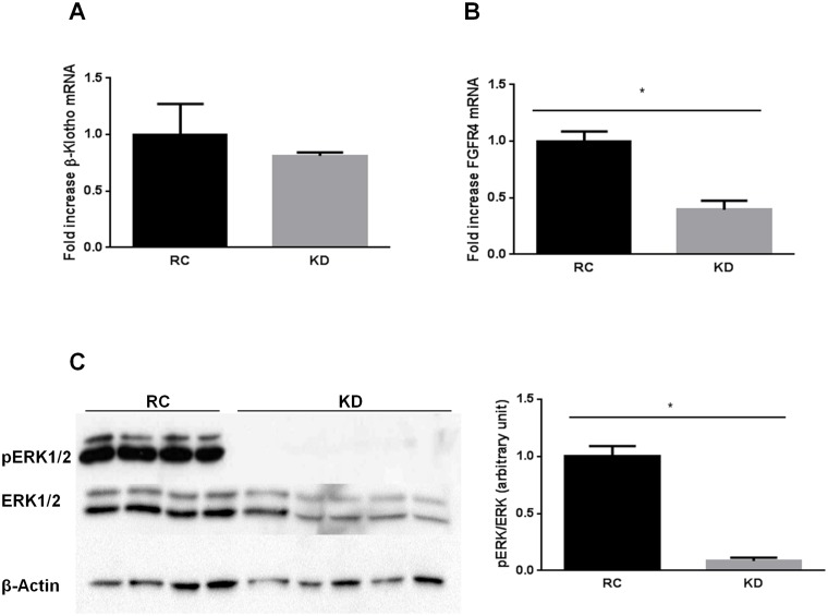 Ketogenic diet (KD) impairs FGF21 signaling in the liver. A) KD does not modify Klb (β-Klotho) mRNA expression, but downregulates B) Fgfr4 mRNA expression, with a subsequent reduction of C) phospho-ERK1/2 protein levels. Data are presented as means ± SEM. * P