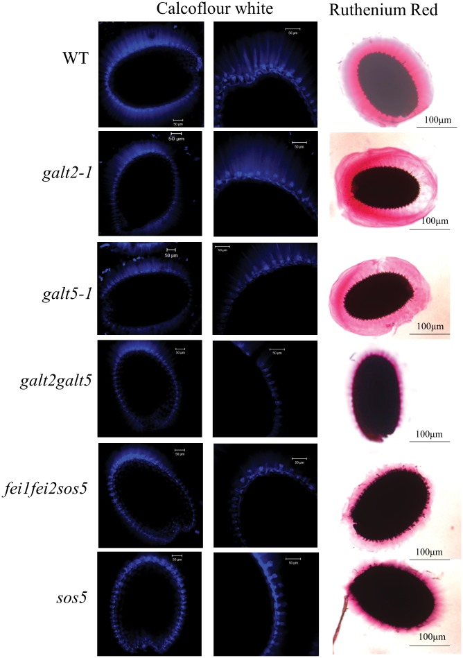 Staining of seed coat mucilage for cellulose and pectin in wild type, galt , sos5 , and fei mutant seeds. Seeds of the indicated genotypes were prehydrated with water and stained with Calcofluor white and ruthenium red to visualize cellulose and pectin with a Zeiss LSM 510 META laser scanning confocal microscope.