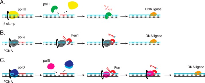 Simplified models of Okazaki fragment maturation in bacteria ( A ), Eukarya ( B ), and Thermococcus species 9°N ( C ). A, in bacteria, pol III synthesizes the lagging strand. pol I replaces pol III to complete Okazaki fragment maturation. pol I 5′-3′ exonuclease removes the RNA primer as its DNA polymerase activity fills the gap. DNA ligase seals the Okazaki fragments. B, the eukaryal lagging strand DNA polymerase, pol δ, strand displacement activity generates a flap for Fen1 cleavage. DNA ligase seals the Okazaki fragments. C, polD synthesizes the lagging strand and stops at a downstream Okazaki fragment. polB replaces polD and its strand displacement activity generates a flap for Fen1 cleavage. DNA ligase seals the Okazaki fragments. Further details are described in the text.