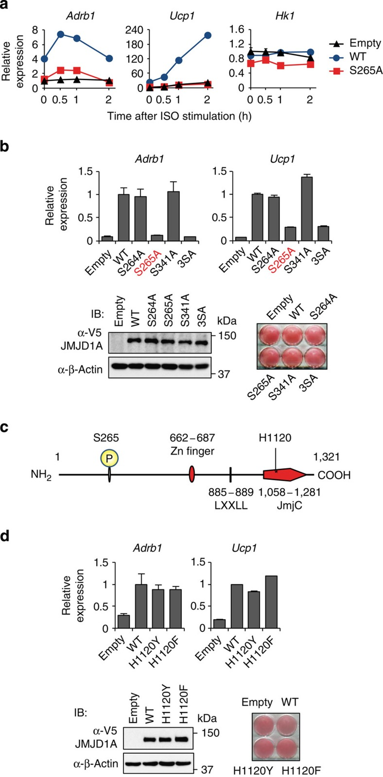 Phosphorylation of JMJD1A at S265 is crucial for β-adrenergic-induced gene transcriptions. ( a ) ISO-induced Adrb1 and Ucp1 mRNA levels in iBAT sh s stably expressing WT- or S265A-hJMJD1A or empty vector were measured by RT-qPCR. The mRNA values are depicted relative to mRNA in iBAT sh s transduced with empty vector on day 8 of differentiation before ISO treatment (0 h), which are arbitrarily defined as 1. ( b ) Adrb1 and Ucp1 mRNA levels in WT or serine to alanine mutants (S264A, S265A, S341A or, 3SA) JMJD1A expressing iBAT sh s measured by RT-qPCR after 1 h ISO treatment (top panel). 3SA represents all three mutations of S264A, S265A and S341A. Data were presented as fold change relative to WT-hJMJD1A-iBAT sh s after normalized to cyclophilin. Immunoblot (IB) analysis for WT and various mutant JMJD1A proteins and Oil Red O (ORO) staining (bottom panel). ( c ) Schematic representation of the domain architecture of hJMJD1A. Phosphorylation site at S265 and Fe(II) binding site at H1120 are shown. ( d ) Comparable ISO-induced gene expressions of Adrb1 and Ucp1 in WT and demethylase dead JMJD1A mutants expressing iBAT sh s. RT-qPCR was performed to quantify mRNA levels of Adrb1 and Ucp1 genes in WT-, H1120Y- or H1120F-hJMJD1A- iBAT sh s treated with ISO for 1 h (top panel). Data were presented as fold change relative to WT-hJMJD1A-iBAT sh s. IB analysis and ORO in the indicated iBATs (bottom panel). Data are presented as mean±s.e.m. of three technical replicates ( a , b , d ) (error bars are too tiny to see in some figures). Uncropped images of the blots ( b , d ) are shown in Supplementary Fig. 11 .