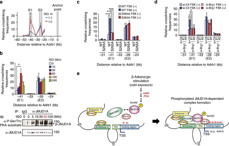 P-JMJD1A mediates PKA-induced enhancer–promoter interaction at the Adrb1 locus. ( a – d ) 3C-qPCR analysis of the interaction frequency of the restriction fragments with the anchor point fixed near the Adrb1 gene. The grey shadows in a highlight the regions containing E1 and E2 enhancer elements and anchor point. Crosslinked chromatin samples were prepared from differentiated iBATs (day 8) treated with 1 μM ISO or vehicle for 1 h ( a ), treated with 1 μM ISO for the indicated time periods ( b ), from WT- and S265A-hJMJD1A iBAT sh s treated with 20 μM FSK or vehicle for 20 min ( c ) or from differentiated iBATs transfected with control or two independent Brg1 siRNA treated with 20 μM FSK or vehicle for 20 min ( d ). Time course of ISO-induced JMJD1A phosphorylation was determined by immunoprecipitation (IP) followed by immunoblot (IB) analysis ( b , bottom panel). Uncropped images of the blots are shown in Supplementary Fig. 13 . Error bars represent±s.e.m. of three independent experiments. Student's t -test was performed for comparisons in a and analysis of variance were performed followed by Tukey's post hoc comparison in b – d . * P