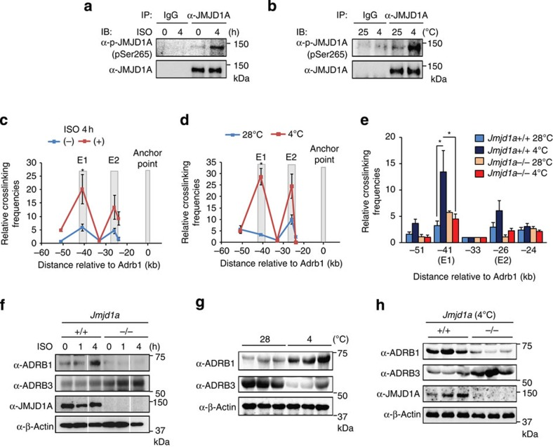 P-S265-JMJD1A induces enhancer–promoter interaction in response to β-adrenergic signalling in brown adipose tissue of mice in vivo . ( a , b ) Immunoblot (IB) analyses for P-JMJD1A proteins in the brown adipose tissue from 14-week-old C57BL/6J mice treated with ISO (10 mg kg −1 , by subcutaneous (s.c.) injection) for 4 h ( a ) or 12-week-old C57BL/6J mice placed at 25 or 4 °C for 6 h ( b ). Whole-cell extracts from brown adipose tissue were subjected to immunoprecipitation (IP) followed by IB analysis. ( c – e ) Dynamic changes in higher-order chromatin conformation of the Adrb1 locus in brown adipose tissue of ISO-induced and cold-exposed mice. 3C-qPCR analysis was performed with the anchor point fixed near the Adrb1 gene in brown adipose tissue of Jmjd1a+/+ mice injected with ISO (10 mg kg −1 , by s.c. injection) for 4 h ( c ) or exposed to 28 or 4 °C for 6 h ( d ), or Jmjd1a+/+ and Jmjd1a−/− mice exposed to 28 or 4 °C for 6 h ( e ) as described in Fig. 6a–d . Error bars represent±s.e.m. of three independent experiments. Student's t -test was performed for comparisons in c and d , and analysis of variance were performed followed by Tukey's post hoc comparison in e . * P