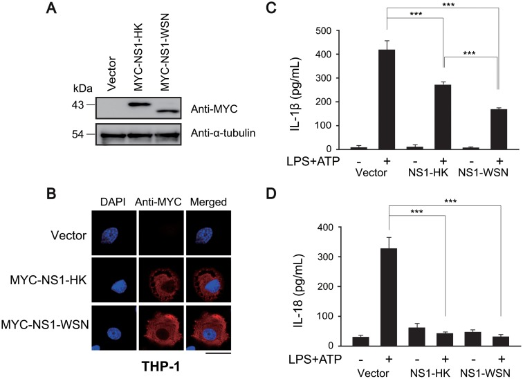 Expression of NS1 variants in THP-1 macrophage cells and their inhibitory effects on NLRP3 inflammasome. (A) NS1 variants were expressed in THP-1 cells by using a lentivirus vector transduction system. After transduction, the expression of each NS1 variant in differentiated THP-1 cells was evaluated by western blot analysis. (B) NS1 variant-transduced THP-1 macrophage cells were immunostained with anti-MYC (red) for NS1 detection. Localization was examined under a confocal laser scanning microscope. Nuclei were stained with DAPI (blue). Scale bar, 20 μm. (C and D) Transduced THP-1 macrophage cells were differentiated with TPA and then treated with LPS (1 μg/mL) for 6 hr, followed by treatment with ATP (2.5 mM) for 15 min. The supernatants were harvested and subjected to ELISA to quantify IL-1β and IL-18. Data represent the mean and standard deviation. Statistical analysis was performed using Student's t -test to analyze the differences between control and NS1-expressing samples (*** denotes a p -value of