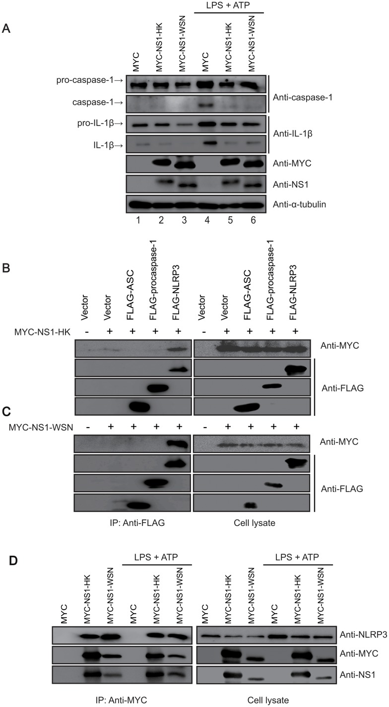 Downregulation effect of NS1 variants on the NLRP3 inflammasome and their interaction with NLRP3. (A) Differentiated THP-1 cells expressing NS1 variants were treated with LPS (1 μg/mL) for 6 hr, followed by treatment with ATP (2.5 mM) for 15 min. The cell lysates were obtained and subjected to western blot analysis using the indicated antibodies. (B and C) NS1 variants interacted with NLRP3, not with ASC or pro-caspase-1. The MYC-NS1-HK (B) or MYC-NS1-WSN (C) construct was co-transfected with a FLAG-tagged NLRP3 inflammasome protein construct (NLRP3, ASC, or pro-caspase-1) into HEK293T cells. The cells were harvested at 48 hr post transfection, and lysates were immunoprecipitated with anti-FLAG-M2 antibody. Protein interaction with NS1 was identified by western blot analysis with an anti-MYC antibody. (D) Differentiated THP-1 cells expressing NS1 variants were treated with LPS (1 μg/mL) for 6 hr, and subsequently with ATP (2.5 mM) for 15 min. The cells were harvested and lysates were immunoprecipitated with anti-MYC antibody. Endogenous NLRP3 protein interaction with NS1 was identified by western blot analysis with anti-NLRP3.