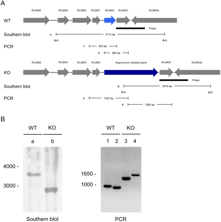 Construction of rv3852 knockout Mtb and verification by Southern blot and PCR. (A) Upper panel displays the genetic organization of the rv3852 region in Mtb (WT), Lower panel displays the same region with replacement of rv3852 by hygromycin resistance gene in rv3852 knockout Mtb (KO). Filled rectangle indicates the location of probe used in the Southern blot. Sites of digestion by BclI on genomic DNA from WT and KO as well as the sizes of the generated DNA fragment (a and b) are demonstrated under each panel. PCR products from genomic DNA from WT (1 and 2) and KO (3 and 4) are denoted. (B) Left, Southern blot of BclI digested genomic DNA from WT and KO. Calculated sizes of the fragments hybridizing with the probe were 3714 bp (WT) and 2916 bp (KO) as indicated in A. Right, PCR products from genomic DNA from WT and KO. The calculated sizes of the PCR products were 902 (Lane 1), 860 (Lane 2) for WT and 1322 (Lane 3), 1560 bp (Lane 4) for KO as indicated in A.