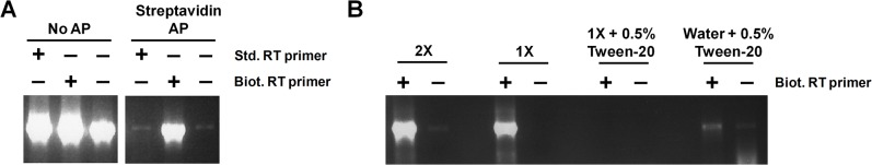 Affinity purification of cDNAs primed with biotinylated RT primers circumvents nonspecific priming during RT. (A and B) RNA extracted from a high titer stock of cell-free LCMV virions was subjected to standard RT-PCR to detect S segment vRNA using the RT primer S 2865- and PCR primers 1856+ and 2628- (note that the sequence for primer 1856+ is listed in the Methods). In panel (A), three RT conditions were tested. The first RT condition featured a standard RT primer, the second had a biotinylated primer, and the third had no RT primer, as indicated. A portion of each reaction was subjected to affinity purification using streptavidin magnetic beads and then both the input and streptavidin-purified cDNAs were subjected to PCR. In panel (B), two RT conditions were tested: one with a biotinylated RT primer and the other without an RT primer. In an attempt to eliminate nonbiotinylated cDNAs from nonspecifically binding to streptavidin beads, a panel of four wash buffers (the 2X wash buffer from the Dynabeads kilobaseBINDER Kit, a 1X dilution of this buffer alone or containing 0.5% Tween 20, or water containing 0.5% Tween 20) were used during affinity purification. Following affinity purification, the captured cDNAs were subjected to PCR.