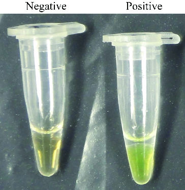 SYBR green I fluorescent dye-mediated monitoring of pork specific RealAmp assay amplification.