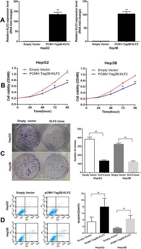 Overexpression of KLF2 expression inhibits HepG2 cell proliferation and improves apoptosis. (A) The mRNA level of KLF2 in HepG2 and Hep3B cells transfected with <t>pCMV-Tag2B-KLF2</t> or empty vector was detected by qPCR. (B,C) MTT assays and colony formation assays were used to determine the cell viability for pCMV-Tag2B-KLF2-transfected or empty vector-transfected HepG2 and Hep3B cells. Values represent the mean ± s.d. from three independent experiments. (D) Apoptosis was determined by flow cytometry. UL, necrotic cells; UR, terminal apoptotic cells; LR, early apoptotic cells. * P