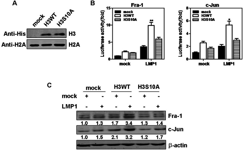 Phosphorylation of histone H3 at Ser10 is involved in LMP1 induction of Fra-1 and c-Jun in CNE1 cells. ( a ) The expressions of H3 WT and H3 S10A mutant in stably transfected CNE1 cells were detected with an anti-His antibody against His-histone H3 by Western blotting. Histone H2A was used as loading control. ( b ) CNE1 cells stably expressing mock, H3 WT or mutant H3 S10A were transfected with pcDNA3.0 or pcDNA3.0-LMP1. At 36 hours after transfection, the firefly luciferase activity was measured and normalized against Renilla luciferase activity respectively. * P