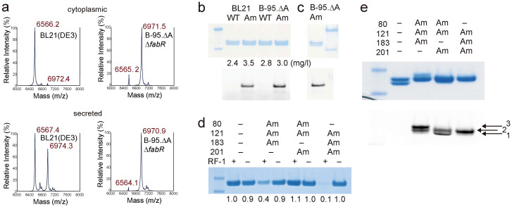 """Production of hirudin and a Fab fragment containing synthetic amino acids in BL21(DE3) and B-95.ΔA. (a) <t>MALDI-TOF</t> analyses of the recombinant HV1 products from the gene with TAG at position 63. The products were from the growth medium (left) and the cytoplasm (right) of BL21(DE3) and B-95.ΔAΔ fabR . The calculated masses (m/z) of the full-length HV1 with and without O -sulfation are 7050.5 and 6970.5, respectively, for [M+H] + . Note that sulfotyrosine can easily be deacylated in this matrix. The calculated mass (m/z) of the truncated HV1 with translation terminated at UAG is 6566.1 for [M+H] + . (b) Fab fragments produced in BL21(DE3) and B-95.ΔA. The purified products and those subsequently labeled with a fluorescent probe were fractionated on NuPAGE gels (in the upper and lower gels, respectively). Fluorescence was detected using an LAS4010 image analyzer. The labeled products correspond to the heavy chain. """"WT"""" and """"Am"""" indicate the products expressed from genes with and without an in-frame TAG, respectively. The figures indicate the yields of the products (mg/l). (c) The Fab fragment from B-95.ΔA, labeled and then purified by protein-G column chromatography, was analyzed by electrophoresis on a NuPAGE gel. (d) Fab fragments containing three 4-azidophenylalanines at the positions marked with """"Am"""" were synthesized in BL21(DE3) (""""RF-1+"""") and B-95.ΔA (""""RF-1−""""), and then were analyzed by electrophoresis on a NuPAGE gel. The figures at the bottom of the gel indicate relative yields for the variants. (e) The Fab fragments containing three 4-azidophenylalanines at the positions marked with """"Am"""" were synthesized in B-95.ΔA and labeled, followed by a NuPAGE analysis (upper) and fluorescence detection (lower). The positions corresponding to the Fab fragments labeled at one, two, and three sites are indicated. The size markers in the right-most or left-most lanes in panels b–e indicate 20 and 30 kDa."""