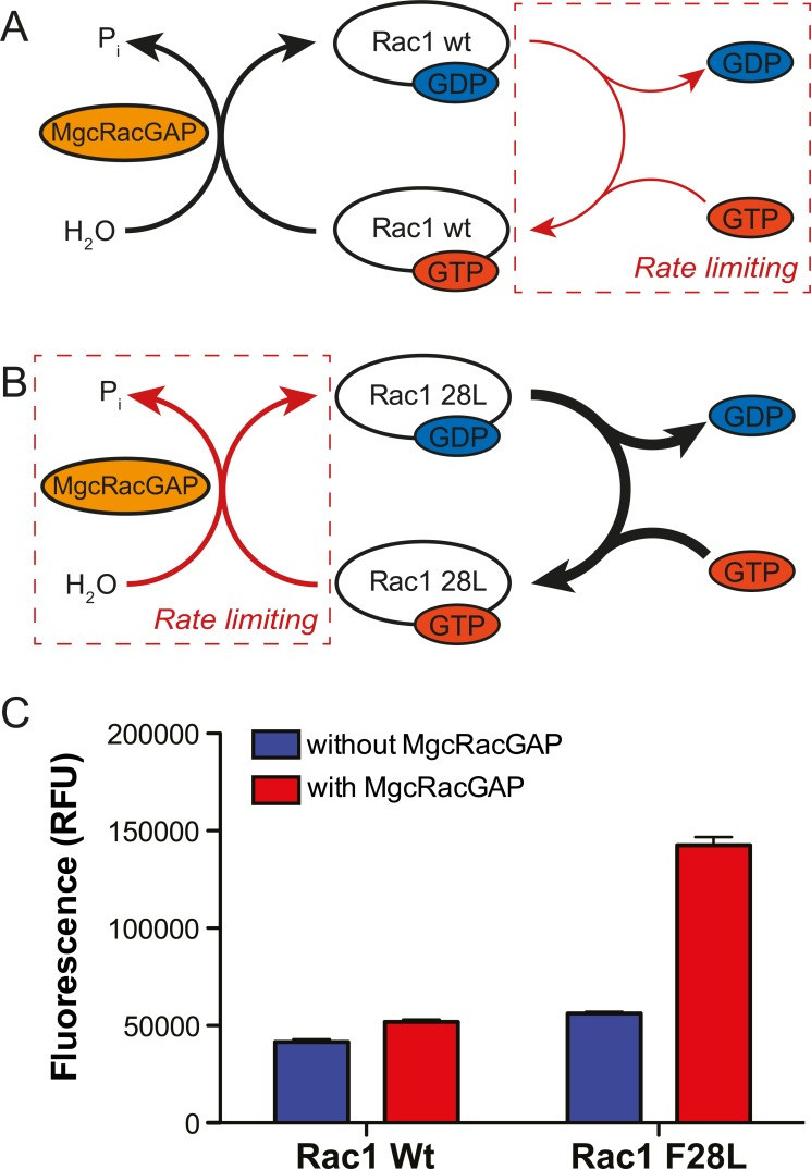 Design and validation of an HTS-compatible assay measuring the biochemical activity of MgcRacGAP. A) Wild type <t>Rac1</t> cycles between GDP- and GTP-bound forms, but owing to a very high affinity towards the guanine nucleotides, the exchange step is highly rate limiting (red arrow). B) Rac1(F28L) exhibits a reduced affinity for nucleotide, and therefore, a higher rate of nucleotide exchange compared to wild type Rac1. Thus, with Rac1(F28L) the GTPase step is rate limiting (red arrow) producing a sensitive, multiple turnover GAP assay. C) A comparison of fluorescence-mediated detection of GDP released from the GAP assay using wild type Rac1 or Rac1(F28L) shows that the fast-cycling mutant Rac1(F28L) allows for sensitive detection of GDP (GAP activity). Error bars represent SD (n=7 for each condition; p