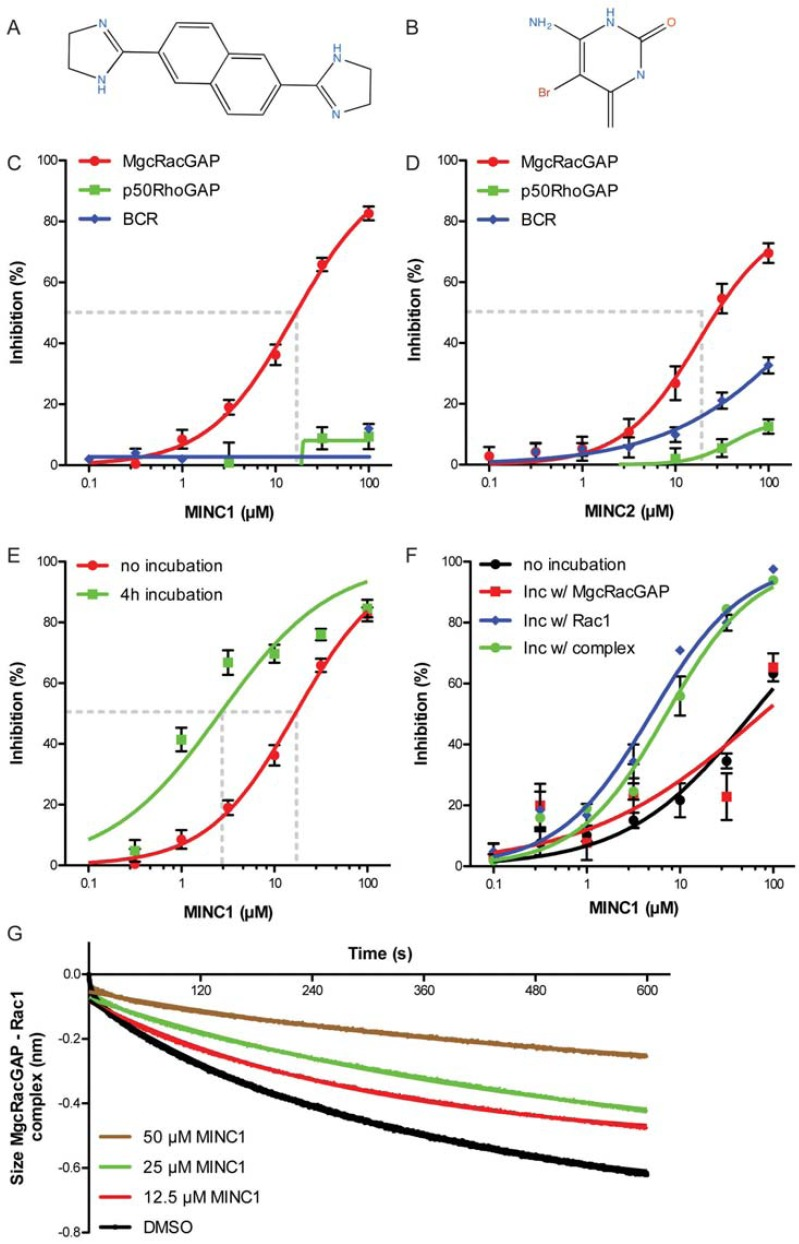 Selective, dose-dependent biochemical inhibition of MgcRacGAP by MINC1. A) Molecular structure of MINC1, CID 744230. B) Molecular structure of MINC2, CID 251705. C) MINC1, identified from single dose testing, was subjected to dose response analyses (0.1-100 µM) against MgcRacGAP (red), p50RhoGAP (green) and BCR GAP (blue) in the biochemical assay. MINC1 exhibited a highly selective inhibition of MgcRacGAP, IC 50 15±5 µM. Error bars represent SD (n=8 for each condition). D) MINC2 exhibited a selective inhibition of MgcRacGAP, IC 50 18±7 µM. Error bars represent SD (n=3 for each condition). E) Dose response curves shift if the proteins are pre-incubated with MINC1 before GTP addition, resulting in a decreased IC 50 by almost 1-order of magnitude. IC 50 , no incubation 15±5 µM; IC50, incubation 2±1 µM. Error bars represent SD (n=8 for each condition). E) MINC2 identified from single dose testing was subjected to dose response analyses (0.1-100 μM) against MgcRacGAP (red), p50RhoGAP (green) and BCR GAP (blue) in the biochemical assay. F) Dose response curves shift due to pre-incubation of Rac1 with MINC1. The presence of MgcRacGAP in the mixture had no additive effect on the inhibition. Error bars represent SD (n=3 for each condition). G) MINC1 stabilizes Rac1-MgcRacGAP complex. Pre-treatment of the complex with MINC1 slowed down the dissociation process in dose dependent matter. Error bars not presented (n=2 for each condition) (color image is available online).