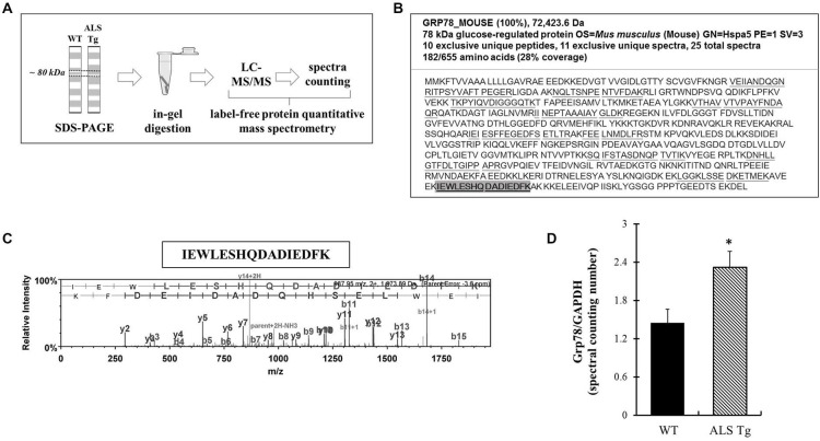 <t>Grp78/BiP</t> protein identification and quantitation using label-free spectral counting-based mass spectrometry. (A) Workflow of label-free spectral counting-based protein quantitative analysis using LC-MS/MS. Protein samples were separated using SDS-polyacrylamide gel electrophoresis (PAGE) and gel pieces excised at ~80 kDa for the purpose of in-gel trypsin digestion and LC-MS/MS analysis. Protein quantitative data analysis was conducted using spectral counting and interpreted by normalized total spectra numbers. (B) Grp78/BiP protein identification and peptide coverage using LC-MS/MS. (C) Representative mass-to-charge ratio spectrum and b-/y ions fragmentation of Grp78/BiP peptide (highlighted in B ). (D) Protein quantitative data analysis using the ratio of normalized total spectra numbers of Grp78/BiP to a house keeping protein GAPDH. Three independent muscles from 120–140d old wild type (WT) and ALS-Tg mice were analyzed. * p
