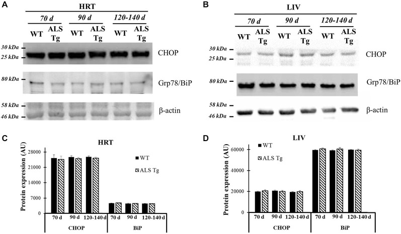Grp78/BiP and CHOP protein levels in cardiac muscle and liver tissue of G93A*SOD1 ALS-Tg mice. (A) Cardiac muscle (HRT) was collected and protein levels determined using western blot technique. Grp78/BiP and CHOP antibodies were used and three postnatal ages were examined: early pre-symptomatic (70d; n = 3 each for WT and ALS-Tg), late pre-symptomatic (90d; n = 5 each for WT and ALS-Tg), and symptomatic (120–140d; n = 3 each for WT and ALS-Tg) mice. (B) Liver tissues (LIV) was collected and protein levels were determined as described above. Analysis of average arbitrary units (AU) obtained by densitometry of Grp78/BiP and CHOP in HRT (C) and in LIV (D) . Data in (C,D) are presented as mean ± S.E.