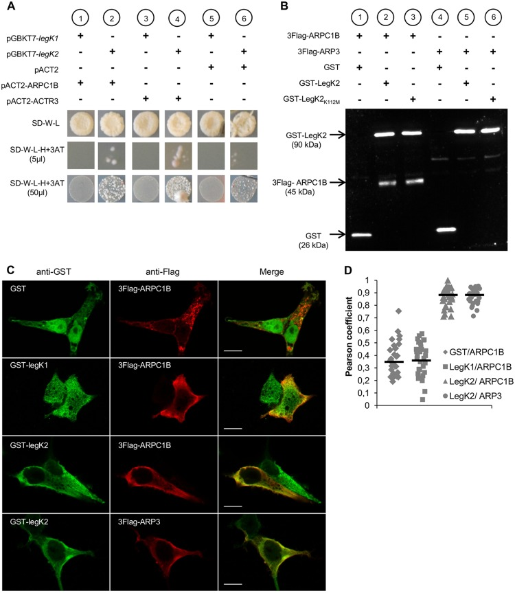 LegK2 interacts with ARPC1B and ARP3 subunits of the ARP2/3 complex. (A) Yeast two-hybrid assays of L. pneumophila protein kinase LegK1/LegK2 and ARPC1B/ARP3 subunits of the human ARP2/3 complex. Diploids from the mating of AH109(pGBKT7-legK1) or AH109(pGBKT7-legK2) with Y187(pACT2), Y187(pACT2-ARPC1B), or Y187(pACT2-ACTR3) were grown on SD medium without tryptophan (−W) or leucine (−L). Histidine auxotrophy was tested by plating 5 or 50 µl of diploids on SD-W-L medium without histidine (−H) in the presence of 10 mM 3-AT. (B) Affinity copurification of Flag-tagged ARP2/3 subunits with <t>GST-tagged</t> LegK2 protein. HEK293T cells were cotransfected with pDEST27, pDEST27-legK2, or pDEST27-legK2 K112M and pCI-Neo3Flag-ARPC1B or -ACTR3. GST, GST-tagged LegK2, or LegK2 K112M was purified on glutathione-agarose 4B, and purified fractions were <t>immunoblotted</t> with both anti-GST and anti-Flag antibodies. (C) Cellular localization of ARPC1B/ARP3 and LegK2/LegK1 proteins in HEK293T cells cotransfected with pDEST27, pDEST27-legK2, or -legK1 and pCI-Neo3Flag-ARPC1B or -ACTR3. The GST, GST-LegK2, and GST-LegK1 proteins were detected by immunofluorescence with anti-GST antibodies (green), and 3Flag-ARPC1B and 3Flag-ARP3 were detected with anti-Flag antibodies (red). Scale bars, 10 µm. (D) Quantitation of colocalization by Pearson coefficient. The Pearson coefficient was determined with the JACoP plugin of the ImageJ software and is expressed as the mean value calculated for 30 cells.