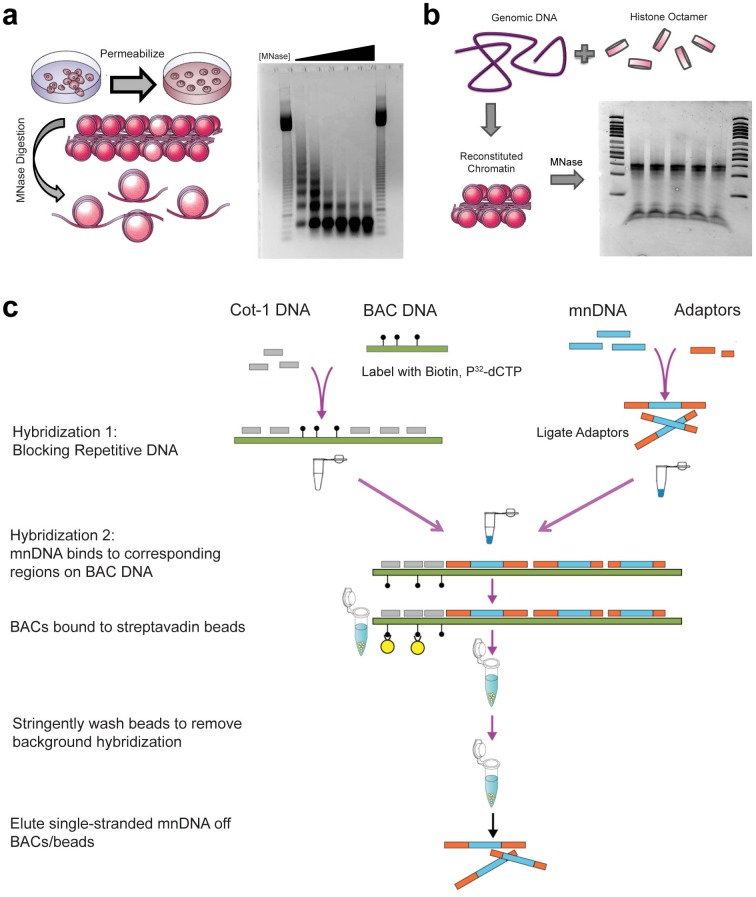 Mapping in vivo and in vitro nucleosome occupancy using BAC-based enrichment. (a) Protocols were modified so that permeabilization and micrococcal nuclease digestion occur while embryonic stem cells are attached to the tissue culture surface to improve recovery and digestion reproducibility. The amount of micrococcal nuclease (MNase) in the digestion was titrated so that the mononucleosome band at 147bp is the primary band, without overdigestion. Digests were measured in Worthington Units of MNase * Time of digestion / volume of cell culture (U*min/mL). Lanes 1 and 8: 50bp ladder. Lanes 2–7 range from 2500 U*min/mL to 25,000 U*min/mL of MNase, with ideal digestion in the third condition, 10,000 U*min/mL. This amount of digestion was used in all future experiments. (b) Genomic DNA was purified from embryonic stem cell cultures and combined with histone octamer purified from chicken erythrocytes in a ratio of 100μg:30μg under high salt (2M NaCl) conditions. Removal of salt via dialysis results in reconstituted chromatin, representing histone proteins' preferred DNA sequences. Reconstituted chromatin was digested with 5 Worthington Units of micrococcal nuclease per 10μg of genomic DNA present, for a digestion of 5 minutes at 37°C (Lanes 1 and 7: 50 bp ladder; Lanes 2–6: digested chromatin). (c) Bacterial Artificial Chromosome (BAC) DNA, which was nicked with biotin-dUTP, was blocked with Cot-1 DNA at a ratio of 100ng:10μg. 1μg of library-adapted mononucleosome DNA was denatured and mixed with BAC DNA. Mononucleosome DNA was hybridized to the corresponding BAC region and was isolated by removing BACs from solution with streptavadin beads, stringently washing the beads, and eluting single stranded DNA from the beads. Double stranded products were amplified using PCR and sent for paired-end sequencing.