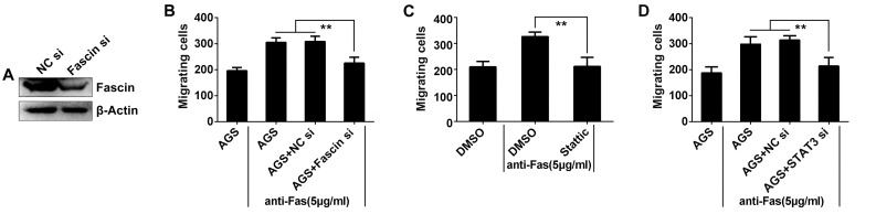 Fas signaling promoted AGS cell migration dependent on STAT3/Fascin pathway. (A) AGS cells were transfected with Fascin siRNA or NC siRNA for 36 h, and Fascin expression in the cells was detected by Western blot. After (B) inhibition of Fascin expression by siRNA; or (C) treated with 10 μM Stattic for 2 h; or (D) inhibition of STAT3 expression by siRNA, and stimulated with 5 μg/ml of anti-Fas for 2 h, the number of AGS cells which migrated to the bottom of the Transwell filter was quantified (n = 5). Data are representative of three independent experiments. (**p