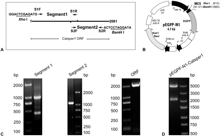 Construction and identification of the DNA vaccine plasmid pEGFP-N1-Catsper1. (A) The amplification of the whole Catsper1 ORF by recombinant PCR. The sequences marked with underline are the restriction enzyme sites of Xho I and Bam H I. (B) Schematic diagram of pEGFP-N1 plasmid. EGFP was used as a report gene, and Kanr/Neor was a kanamycin resistance gene and used for colony screening of E . coli that transformed with plasmid. (C) Agarose gel electrophoresis of the recombinant PCR products. PCR products are, in order, the former half (Segment 1) of Catsper1 ORF with restriction enzyme site (1107 bp), the latter half (Segment 2) of Catsper1 ORF with restriction enzyme site (1106 bp) and the whole Catsper1 ORF with restriction enzyme sites (2079 bp). (D) Agarose gel electrophoresis of restriction enzyme digestion products of recombinant plasmid pEGFP-N1-Catsper1.