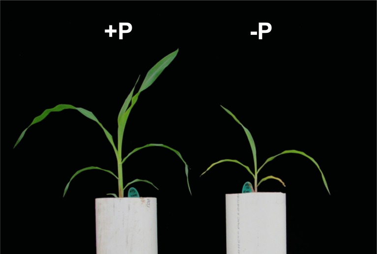 Plant growth under P sufficient and P limiting conditions . Maize plants (var. B73) were grown for 21-days post emergence in 9L of inert sand substrate. From day 10, plants were fertilized with Hoagland solution (Hoagland and Broyer, 1936 ) containing either <t>1000</t> μM (left; +P) or 10 μM (right; –P) Pi.