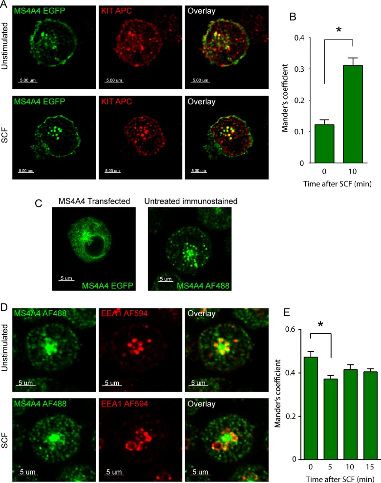 MS4A4 colocalizes with KIT and EEA1 in LAD-2 cells. (A) Confocal micrographs of LAD-2 cells transfected with MS4A4:EGFP chimeric protein (green) immunostained for KIT (APC) (red) in the absence (top) or after stimulation with SCF (bottom). (B) Manders coefficient of colocalization for MS4A4 and KIT. (C) Confocal micrographs of LAD-2 cells transfected with MS4A4:EGFP (left) or cells immunostained with anti-MS4A4 followed by AF488-labeled anti-mouse secondary (right). (D) Immunofluorescence confocal micrographs of LAD-2 cells immunostained for mouse anti-MS4A4 (secondary, AF488) and rabbit anti-EEA1 (secondary, AF594) in the absence of SCF (top) or with SCF stimulation for 10 min (bottom). Scale bars, 5 μm. (E) Manders coefficient of colocalization for MS4A4 and EEA1. For B and E, bars are the mean + SEM from the volume of 16 stacks of images from two separate experiments). * p