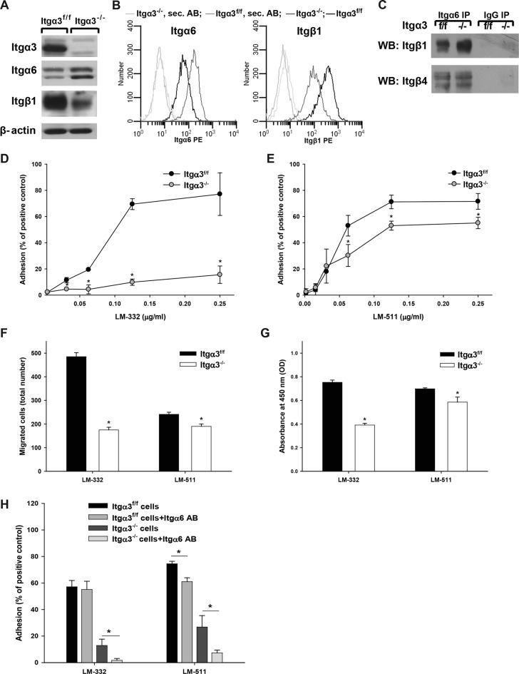 Integrin α3β1 promotes CD cell adhesion, migration, and proliferation on LM-332 and LM-511. (A) Lysates from Itgα3 −/− and Itgα3 f/f CD cells (20 μg total protein/lane) were immunoblotted for integrin β1, α3, and α6 subunits. β-actin served as a loading control. (B) Surface expression of integrin β1, α3, and α6 subunits was determined on Itgα3 −/− and Itgα3 f/f CD cells by flow cytometry using R-phycoerythrin (PE). (C) Lysates from Itgα3 −/− and Itgα3 f/f CD cells (100 μg total protein) were immunoprecipitated with anti-Itgα6 antibody or normal rabbit IgG and immunoblotted for integrin subunits β1 and β4. Adhesion (D and E), migration (F), and proliferation (G) of Itgα3 f/f and Itgα3 −/− CD cells on LM-332 and LM-511 were evaluated as described in Materials and Methods . Mean measurements ±SEM of four to six independent experiments are shown; *, p ≤ 0.05 between Itgα3 f/f and Itgα3 −/− CD cells. (H) Itgα3 f/f and Itgα3 −/− CD cells were treated with blocking anti-Itgα6 antibody and plated on LM-332. Adhesion was evaluated as described in Materials and Methods . Mean measurements ± SEM of three independent experiments are shown; *, p ≤ 0.05 between CD cells and CD cells treated with blocking anti-Itgα6 antibody.