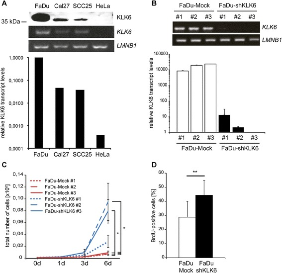 Silencing of KLK6 expression in FaDu cells promotes tumor cell proliferation. ( A ) KLK6 expression in human HNSCC (FaDu, Cal27, SCC25) and HeLa cervix carcinoma cells was monitored on protein level by Western blot analysis with cell culture supernatants (upper panel), and on transcript level by semi-quantitative (middle panels) as well as quantitative RT-PCR (lower graph). Detection of LMNB1 <t>amplicons</t> served as control for cDNA quality and quantity for semi-quantitative RT-PCR (lower panel), while transcript levels of three independent reference genes ( ACTB, LMNB1, TBP ) were used for quantitative RT-PCR data. ( B ) KLK6 expression in stable FaDu-Mock and FaDu-shKLK6 clones is given by semi-quantitative (upper panel) and quantitative RT-PCR (lower graph) and was determined as described in ( A ). Differences in tumor cell proliferation between stable FaDu-Mock and FaDu-shKLK6 clones was monitored by quantification of cell counts over a time period of six days ( C ) and a BrdU incorporation assay ( D ). The graph represents mean values and standard deviations (SD) of the percentage total of BrdU-positive cells from three independent FaDu-shKLK6 clones and mock controls, respectively