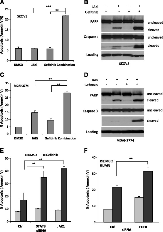 Suppressing JAK/STAT3 signaling enhanced gefitinib-induced apoptosis in human ovarian cancer cells. SKOV3 (A B) and MDAH2774 (C D) cells were treated with gefitinib, JAKi, either alone or together, for 48 h. Apoptosis was determined by flow cytometry using Annexin V and PI staining (A C) or for cleaved poly-ADP ribose polymerase (PARP) and cleaved caspase-3 by Western blot (B D) . **, P