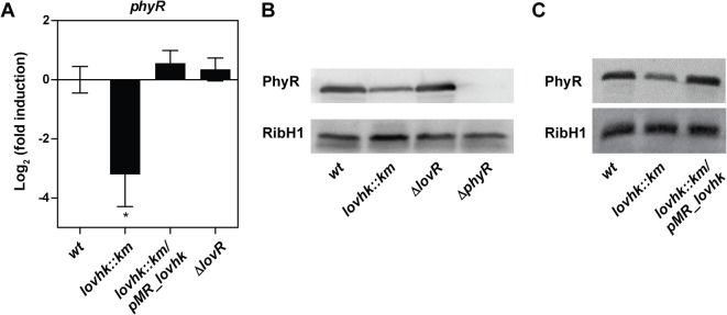 PhyR expression is decreased in the lovhk mutant. A. B . abortus 2308 wt and the isogenic lovhk :: km , ∆lovR and lovhk :: km /pMR_ lovhk strains were cultured in TSB up to logarithmic phase, and expression of the phyR gene was analyzed by qRT-PCR. The if-1 housekeeping gene was used as a reference. Data represent the average of three independent experiments, and are reported as fold induction relative to wt ± standard error. p -values between each strain and wt were determined by one-way ANOVA and post-hoc Tukey's multiple comparisons test (* = p