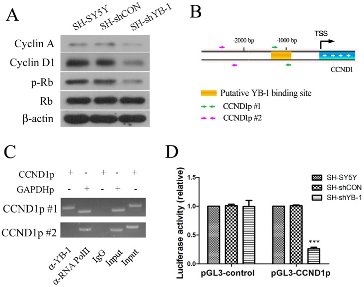 YB-1 regulated Cyclin D1 transcription in neuroblastoma SH-SY5Y cells. (A) Expression levels of cell cycle regulators such as Cyclin A and Cyclin D1 in SH-SY5Y, SH-shCON and SH-shYB-1 cells were examined by Western blot analysis. (B) A schematic illustration of the promoter region of CCND1 which encodes Cyclin D1 indicates the transcription start site (TSS), putative YB-1 binding site and the location of two sets of primers (CCND1p #1 and #2) used for chromatin-immunoprecipitation (ChIP) assay. (C) ChIP assay followed by PCR analysis was performed in SH-SY5Y cells to detect binding of YB-1 on the promoter region of CCND1. Binding of RNA polymerase II (RNA PolII) on GAPDH promoter, which was detected with primers for GAPDH promoter (GAPDHp) by PCR, was used as a positive control for ChIP experiments, whereas IgG served as a negative control for non-specific binding. (D) pGL-3 Firefly luciferase reporter plasmid containing a CCND1 promoter fragment (pGL-3-CCND1) or pGL-3 vector alone was transfected in combination with Renilla luciferase reporter vector pRL-TK into SH-SY5Y, SH-shCON and SH-shYB-1 cells. Luciferase activity representing activity of the promoter was quantified as the ratio of FL/RL which was then normalized to SH-SY5Y cells. Values are expressed as mean ± standard deviation. Compared with SH-SY5Y control, *** P