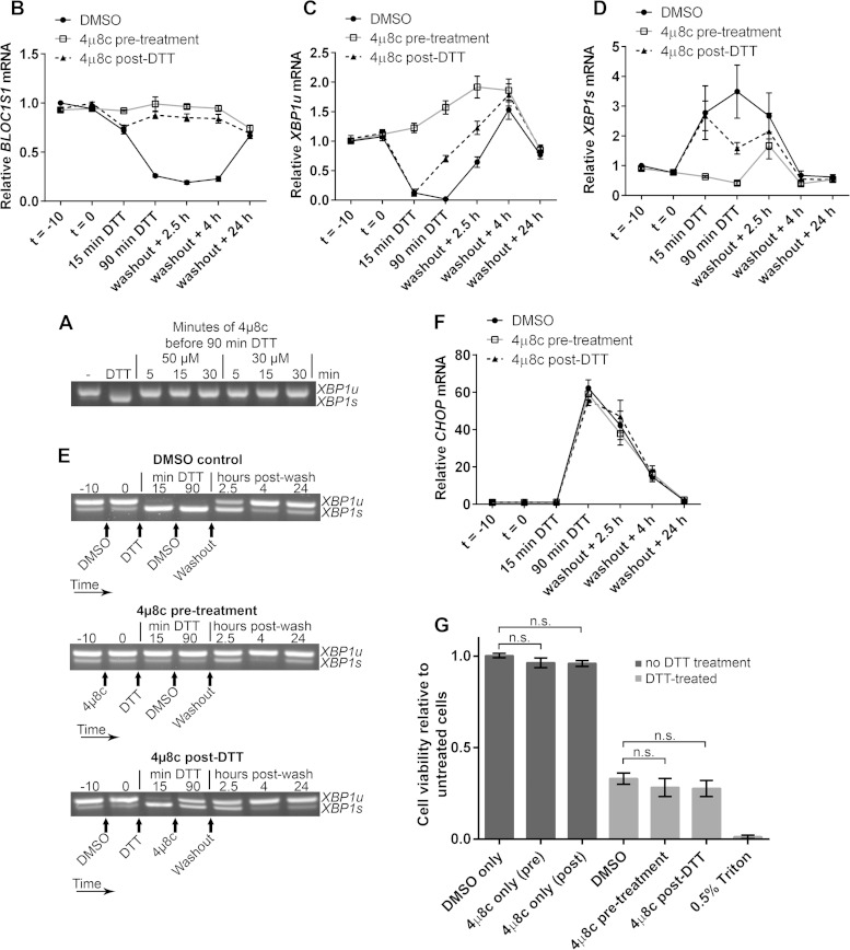 Inhibition of RIDD does not affect RPMI-8226 cell viability under acute ER stress. (A) Agarose gel electrophoresis of the RT-PCR product surrounding the XBP1 splice site in samples from RPMI-8226 cells pretreated for the indicated times with the indicated concentration of 4μ8c and then treated with 2 mM DTT for 90 min. −, untreated cells; DTT, DTT alone. (B) SYBR green qPCR showing relative expression of BLOC1S1 mRNA in RPMI-8226 cells treated with 30 μM 4μ8c at −10 min ( t = −10) (pretreatment) or at 15 min of DTT (post-DTT) and treated with DTT at time zero ( t = 0) for 90 min before washout and recovery for the indicated times. DMSO, vehicle control-treated cells. (C and D) TaqMan qPCR quantification of XBP1u (C) and XBP1s (D) in the samples used for panel B. (E) Representative agarose gel electrophoresis of the RT-PCR product surrounding the XBP1 splice site in the samples from panel B. The arrows indicate the times of addition of the indicated treatments or washout. (F) SYBR green qPCR of relative CHOP expression in the samples used for panel B. (G) WST-1 cell viability assays of RPMI-8226 cells treated as for panel B or treated with 4μ8c or DMSO without DTT treatment. The data are relative to untreated cells; 0.5% Triton X-100 after DTT washout is shown as a control for maximal cell death. All the graphs show means ± SEM from four (B, F, and G) or three (C and D) independent experiments. n.s., P > 0.05 (unpaired t test). All qPCR measurements were normalized to GAPDH and are presented relative to time −10 for DMSO-treated cell samples.