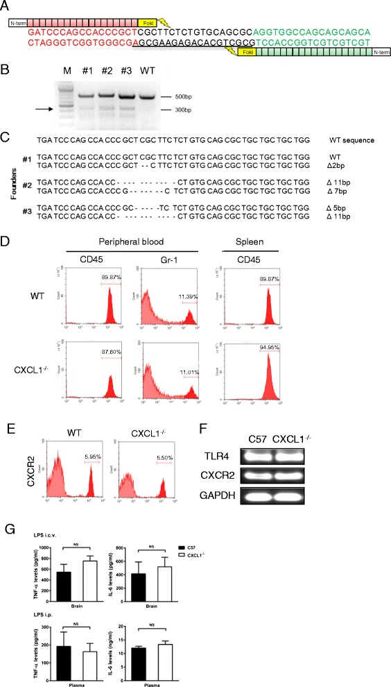 """Generation of TALEN-mediated CXCL1 knockout mice. A DNA-binding sequences are presented in red or green, and the spacer region for CXCL1-TALEN where a double-strand break will occur is underlined. B T7 endonuclease I (T7EI) assays were conducted using genomic DNA from the founder mice. The arrow shows the size (300 bp) of T7EI-digested DNA fragments. #1, #2, and #3 are the mutant founder (F0) mice generated by injection with CXCL1-TALEN mRNA. C DNA sequences of the CXCL1 locus from live founder mice identified by T7E1 assays in B. """"-"""" shows the deleted nucleotides. D Peripheral blood mononuclear cells and splenocytes were collected from wild-type or CXCL1 −/− mice. Numbers of CD45 + and Gr.1 + cells were quantified via flow cytometry. E Peripheral blood mononuclear cells were collected from wild-type or CXCL1 −/− mice, CXCR2 expression in neutrophils from WT and CXCR2 −/− mice were analyzed via flow cytometry. F mRNA expression levels of TLR4 and CXCR2 in the brain of WT or CXCL1 −/− mice were analyzed by RT-PCR. G Wild-type and CXCL1 −/− mice were treated with i.p. or i.c.v. LPS injection. Four hours later, levels of TNF-α and IL-6 in the brain tissue or plasma were determined by ELISA. Data are expressed as the mean ± SEM, n = 4 mice in all of the groups"""