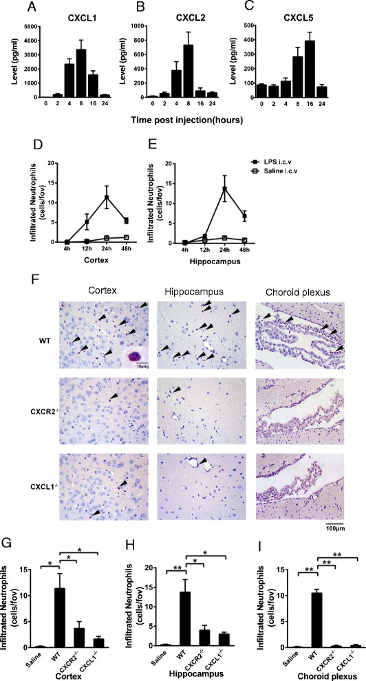Chemokine levels and the effect of CXCR2 or CXCL1 deficiency on neutrophil recruitment to the brain parenchyma after i.c.v. LPS injection. Wild-type mice were i.c.v. injected with LPS. CXCL1 ( A ), CXCL2 ( B ), and CXCL5 ( C ) concentrations in the brains of WT (C57BL/6J) mice were determined via ELISA at various time points after i.c.v. LPS injection. WT mice i.c.v. injected with saline for 24 h served as negative controls. Infiltrating neutrophils in the cortex ( D ) and hippocampus ( E ) were quantified via esterase staining of the brain sections 4, 12, 24, or 48 h after i.c.v. LPS or saline injection. ( F ) The WT, CXCR2 −/− , and CXCL1 mice were i.c.v. injected with LPS 24 h before the quantification of infiltrating neutrophils. Representative photomicrographs of brain sections stained for esterase positive neutrophils (arrows) from wild-type, ( G–I ) CXCR2 −/− and CXCL1 mice. Scale bar: 100 μm; 10 μm (inset). CXCR2 and CXCL1 deficiency significantly reduced neutrophil recruitment in the cortex ( G ), hippocampus ( H ), and choroid plexus ( I ). The results are presented as the means ± SEM and represent a minimum of five mice per group. * P