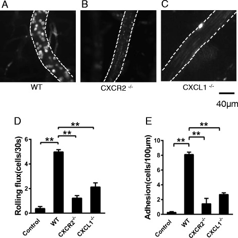 CXCR2 deficiency causes decreased leukocyte rolling and adhesion in brain vessels after i.c.v. LPS injection. Intravital microscopy was performed on wild-type ( A ), CXCR2 −/− ( B ), and CXCL1 −/− mice ( C ) 4 h after LPS i.c.v. injection. The results of rolling flux ( D ) and leukocyte adhesion ( E ) are presented as the means ± SEM. n = 4–6 mice per group. ** P