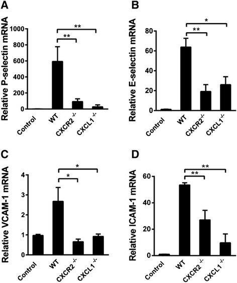 The effect of CXCR2 or CXCL1 deficiency on the mRNA expression of adhesion molecules in vivo. The mRNA expression of P-selectin, E-selectin, VCAM-1, and ICAM-1 saline-treated (4 h after i.c.v. saline injection) control group of WT mice and LPS-treated (4 h after i.c.v. LPS injection) WT, CXCR2 −/− , and CXCL1 −/− mice was quantified via real-time PCR. Both CXCR2 and CXCL1 deficiency resulted in the down-regulation of P-selectin ( A ), E-selectin ( B ), VCAM-1 ( C ), and ICAM-1 ( D ) mRNA expression in the brain. n = 6–8 mice for all groups. * P