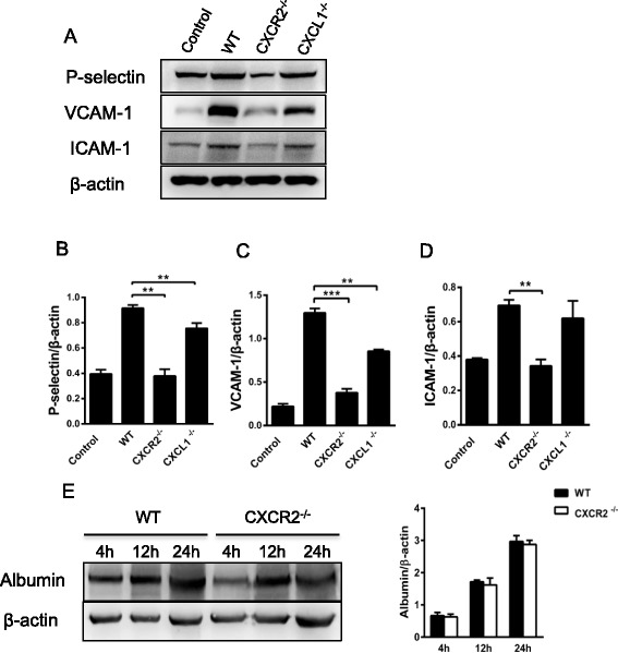 Effects of <t>CXCR2</t> or CXCL1 deficiency on the expression of P-selectin, E-selectin, and adhesion molecules in vivo and on BBB permeability. a The protein expression of P-selectin, E-selectin, VCAM-1, and ICAM-1 (4 h after i.c.v. saline injection) in the saline-treated control group of WT mice and LPS-treated (4 h after i.c.v. LPS injection) WT, CXCR2 −/− , and CXCL1 −/− mice was determined via Western blot analysis. Effects of CXCR2 or CXCL1 deficiency on P-selectin ( b ), VCAM-1 ( c ), and ICAM-1 ( d ) expression in the brain. e Western blotting analysis of the albumin levels in the brains of WT and CXCR2 −/− mice 4, 12, and 24 h after the intraventricular injection of LPS was performed. Optical densities were determined using a computer imaging analysis system. n = 5 mice per group. ** P