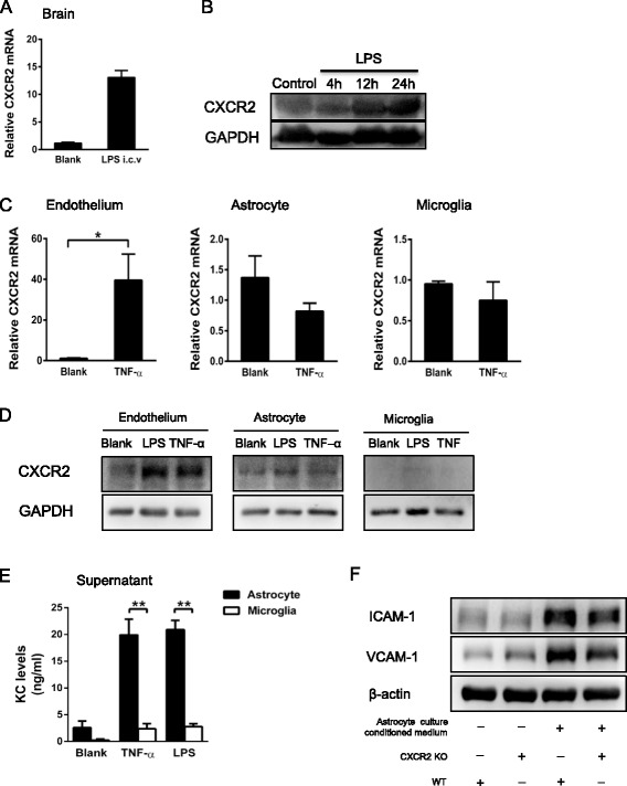 Astrocyte-derived CXCL1 and endothelial CXCR2 are essential for cerebral endothelial activation. A i.c.v. LPS injection (4 h) induced significant CXCR2 mRNA expression in WT mice. B Levels of CXCR2 protein after i.c.v. LPS injection from 4 to 24 h gradually increased compared with the control group (4 h after i.c.v. saline injection). C The expression of CXCR2 mRNA in primary brain microvascular endothelial cells, microglia, and astrocytes stimulated with either vehicle or TNF-α (100 ng/ml) was measured via real-time PCR. The results are represented as the means ± SEM of three independent experiments; * P