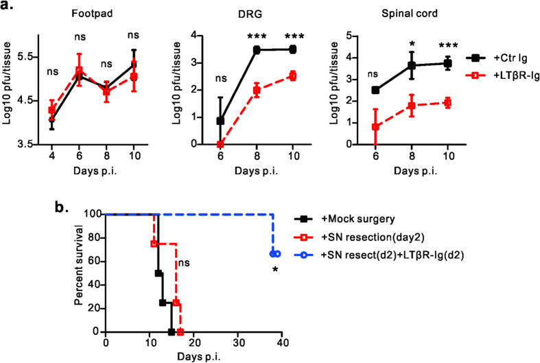 Blockade of LT/LIGHT signaling inhibits viral replication in nervous tissue. ( a ) Rag1 –/– mice (n = 4 to 7/group) were infected with 2 × 10 6 pfu of HSV-1 and treated with either LTβR-Ig or control protein on day -1 and day 5 p.i.. At the indicated time points of figures, mice were euthanized. Footpad, DRG (L3, L4 and L5) and spinal cord were collected. Viral loads in different tissue homogenates were determined by plaque assay. ( b ) Rag1 –/– mice (n = 4 /group) were infected with 2 × 10 6 pfu of HSV-1 via footpad injection. For group with sciatic nerve (SN) resection, one segment of the SN was removed on day 2 (d2) p.i., For the group with SN resection and blockade of LT/LIGHT, 100 ug/mice of LTβR-Ig was administrated on day 2 p.i. (after sciatic nerve resection) and day 8 p.i. Data are representative of two independent experiments. Statistical analysis for a. unpaired t test, Error bar represents SEM, *p