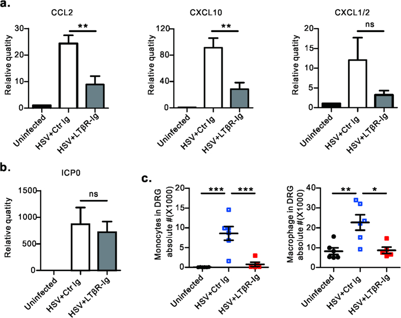 Blockade of LT/LIGHT inhibits chemokine expression and inflammatory cell infiltration into the DRG of infected Rag1 –/– mice. Rag1 –/– mice (n = 3 to 5/group) were infected with HSV-1 and treated with LTβR-Ig as Fig. 1a . Uninfected mice were chosen as the control group. On day 6 p.i., DRGs (L3, L4 and L5) were collected from euthanized mice. The mRNA level of various chemokines (CCL2, CXCL10 and CXCL1/2) ( a ) and viral ICP0 gene ( b ) were measured by real-time PCR. Data are representative of two independent experiments. ( c ) On day 8 p.i., innate immune cell subsets in DRG were determined by flow cytometry assay. Gate strategy: monocytes (CD45 + CD11b + Ly6C hi Ly6G middle ), macrophage (CD45 + F4/80 + ). Data are pooled from two independent experiments, n = 5 to 6/group. Statistical analysis for a , b , c was by unpaired t test. Error bar represents SEM, *p