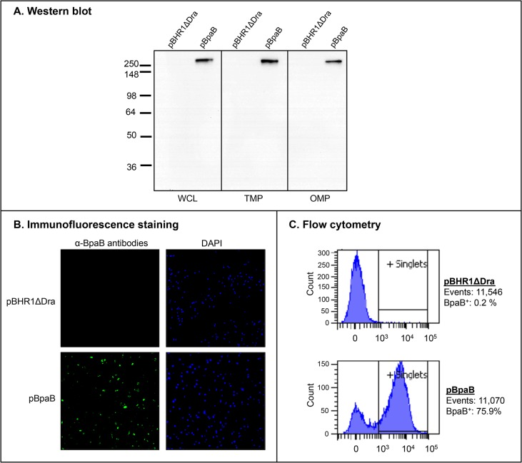 BpaB production by E . coli recombinant strains. Panel A : Equivalent amounts of whole cell lysates (WCL), total membrane proteins (TMP) and sarkosyl-insoluble fractions containing OM proteins (OMP) were resolved by SDS-PAGE, transferred to PVDF membranes and analyzed by western blot with the monoclonal antibody BpaB-MAb#4. Molecular weight markers are shown to the left in kilodaltons. Panel B : Non-permeabilized E . coli strains were fixed onto glass slides and fluorescently-labeled with DAPI (blue) and with α-BpaB polyclonal antibodies (green) as described in Materials and Methods. Bacteria were visualized by microscopy using a Nikon Eclipse Ti confocal system. Representative microscopic fields are shown. Panel C : Non-permeabilized E . coli strains were incubated with polyclonal antibodies against BpaB and fluorescently-labeled with a goat α-mouse antibody conjugated with the fluorochrome Alexa Fluor 488. Labeled bacteria were analyzed using a BD LSR II flow cytometer. The x -axis represents the level of fluorescence, and the y -axis corresponds to the particles counted in arbitrary units. The number of cells analyzed, and the percentage of those producing BpaB on their surface, is shown.