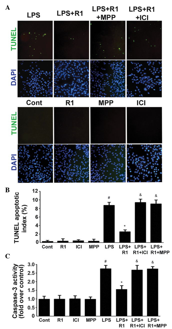 Effects of LPS, NG-R1 and/or ER antagonists on the apoptosis of H9c2 cardiomyocytes. (A) ERα mediates the effects of NG-R1 on endotoxin-induced inflammatory and apoptotic responses in H9c2 cardiomyocytes. Cells were pre-incubated with ICI or MPP for 30 min prior to treatment with or without NG-R1 (25 μ M) for 1 h, followed by LPS (20 μ g/ml) for 24 h. The cells were subsequently fixed and subjected to TUNEL and DAPI staining (magnification, ×200). (B) TUNEL apoptotic index was determined by calculating the ratio of TUNEL-positive cells to total cells. (C) Caspase-3 activity was measured using a fluorometric assay, and expressed as the fold-change compared with the control. The data are presented as the mean ± standard error of the mean (n=8 per group; # P